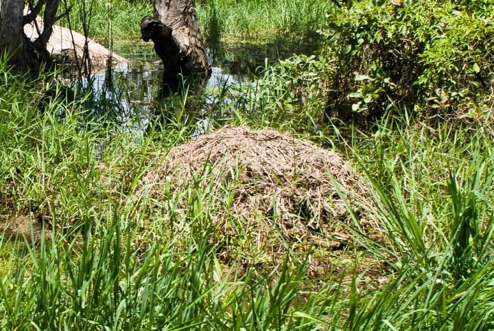 Гнездо крокодила фото