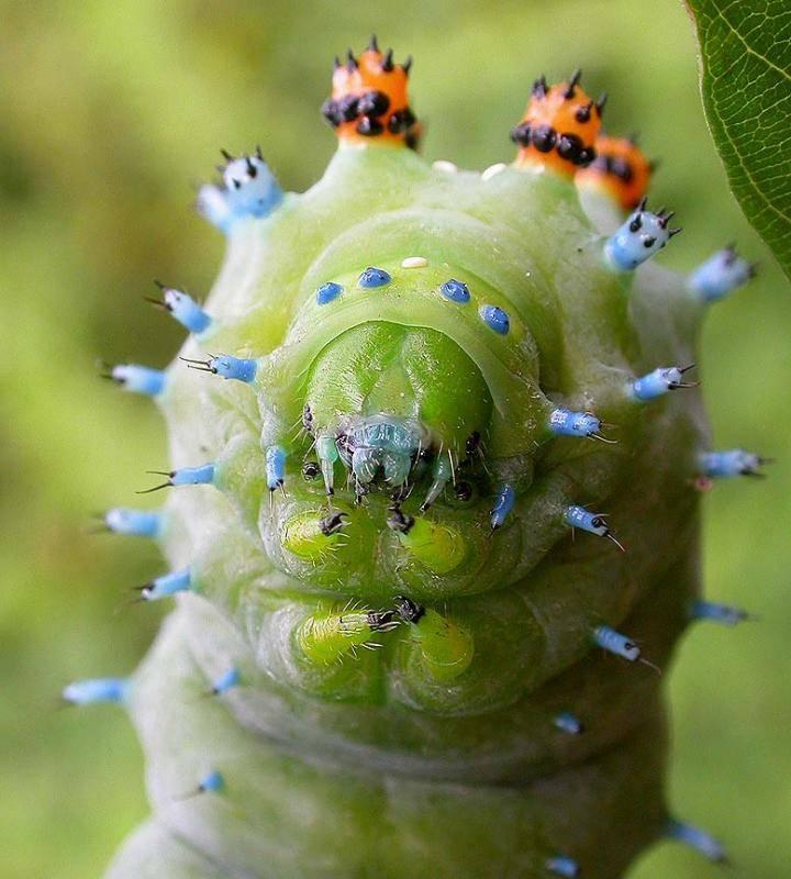 Голова гусеницы павлиноглазки цекропии (лат. Hyalophora cecropia)