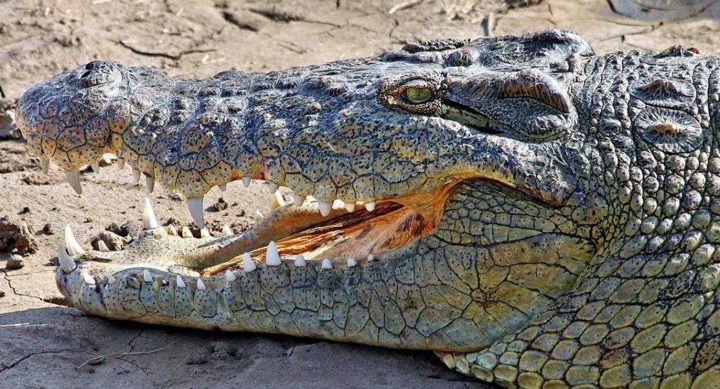 Голова крокодила фото