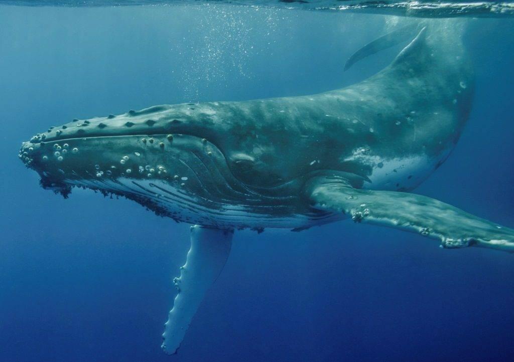Горбатый кит (горбач, длиннорукий полосатик) (лат. Megaptera novaeangliae)