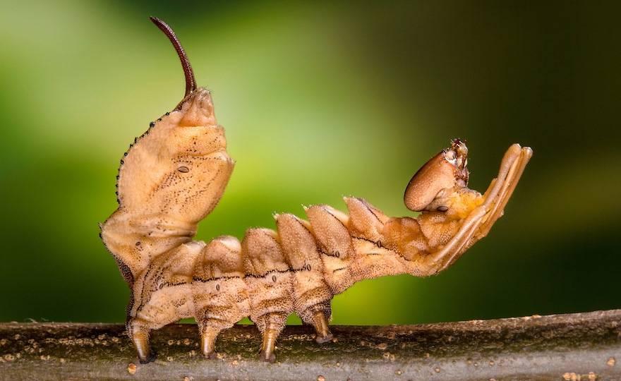 Гусеница бабочки вилохвост буковый, похожая на лобстера (лат. Stauropus fagi)