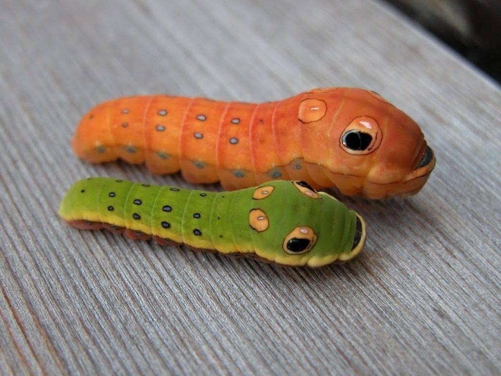 Гусеница бабочки из семейства парусников похожа на змею
