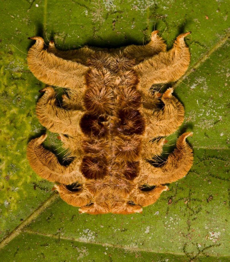 Гусеница бабочки Phobetron pithecium