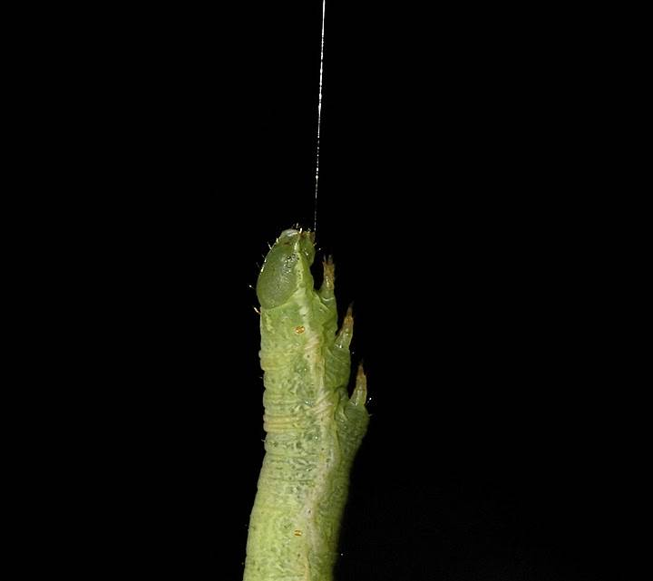 Гусеница висит на шелковой нити