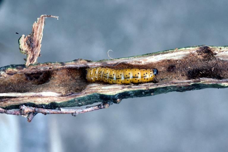 Гусеница древесницы въедливой фото (лат. Zeuzera pyrina)