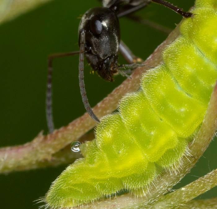 Гусеница и муравей