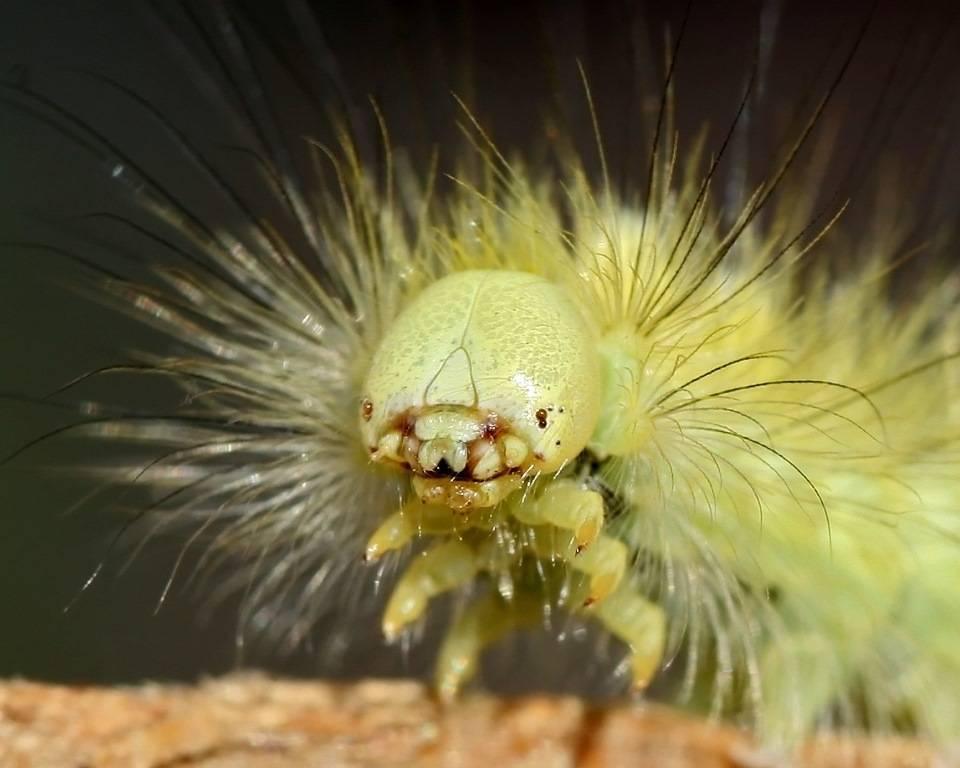 Гусеница краснохвостки (шерстолапки стыдливой) фото (лат. Calliteara pudibunda)