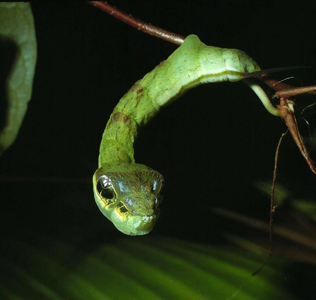 Гусеница, похожая на змею (лат. Hemeroplanes triptolemus)