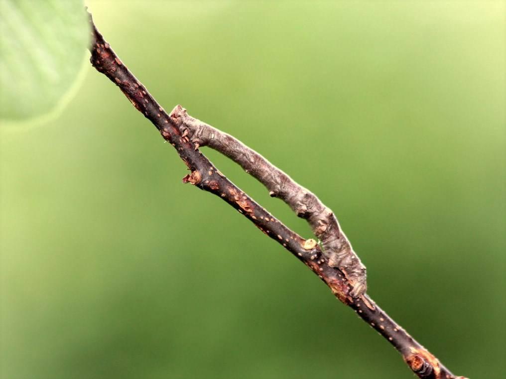 Гусеница пяденицы (землемеров) фото (лат. Geometridae)