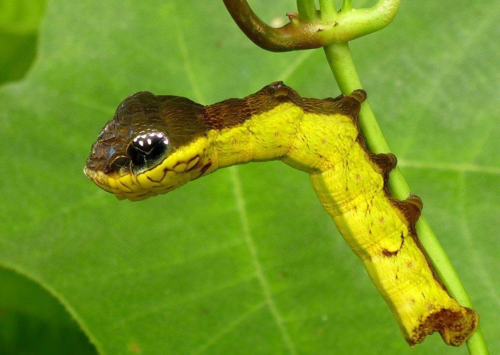 Гусеница с головой змеи (лат. Hemeroplanes triptolemus)
