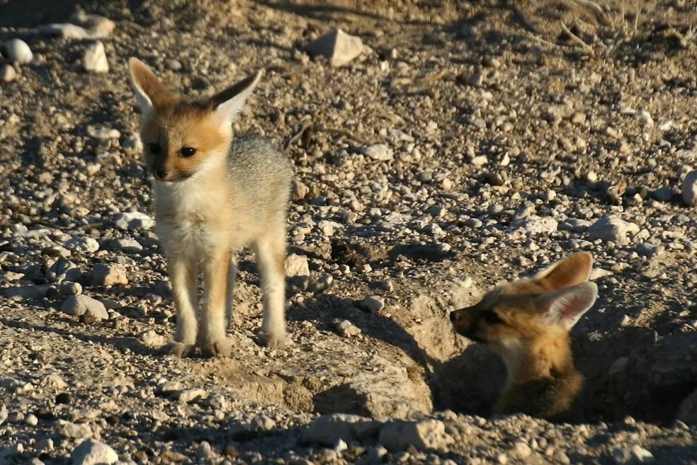 Детеныши лисицы южноафриканской
