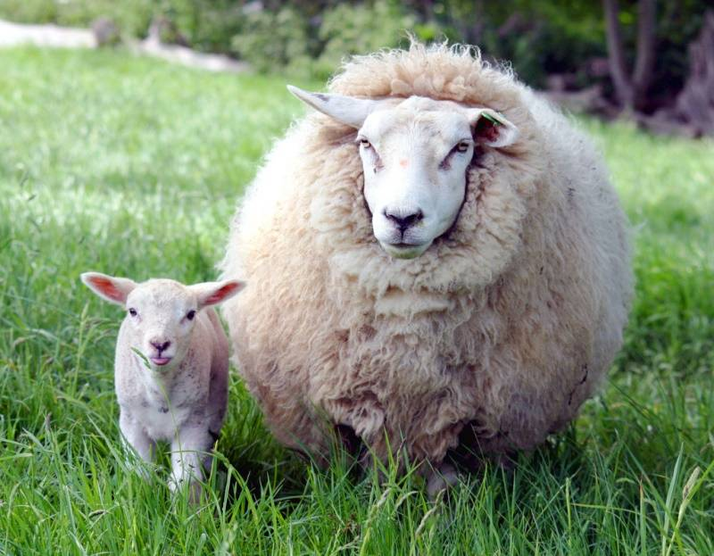 Детёныш овцы домашней