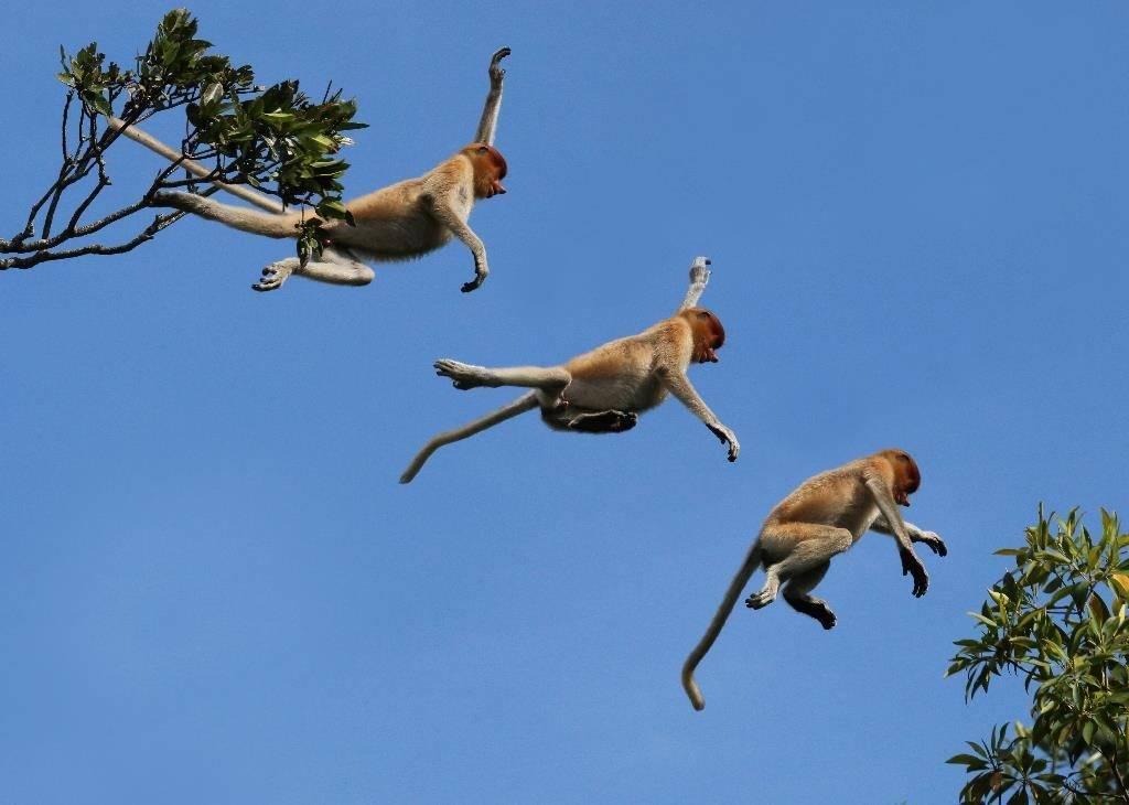 Дикие обезьяны в джунглях прыгают с дерева на дерево