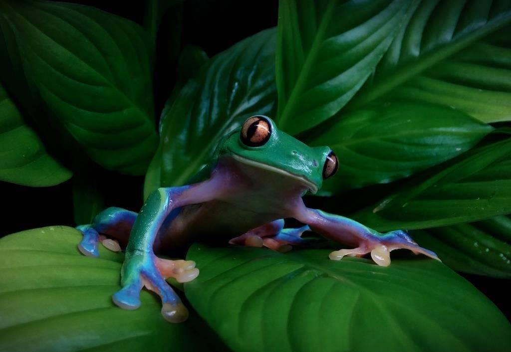 Древесная лягушка Agalychnis annae