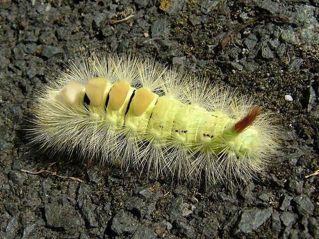 Желтая гусеница с хвостом (гусеница краснохвостки) фото