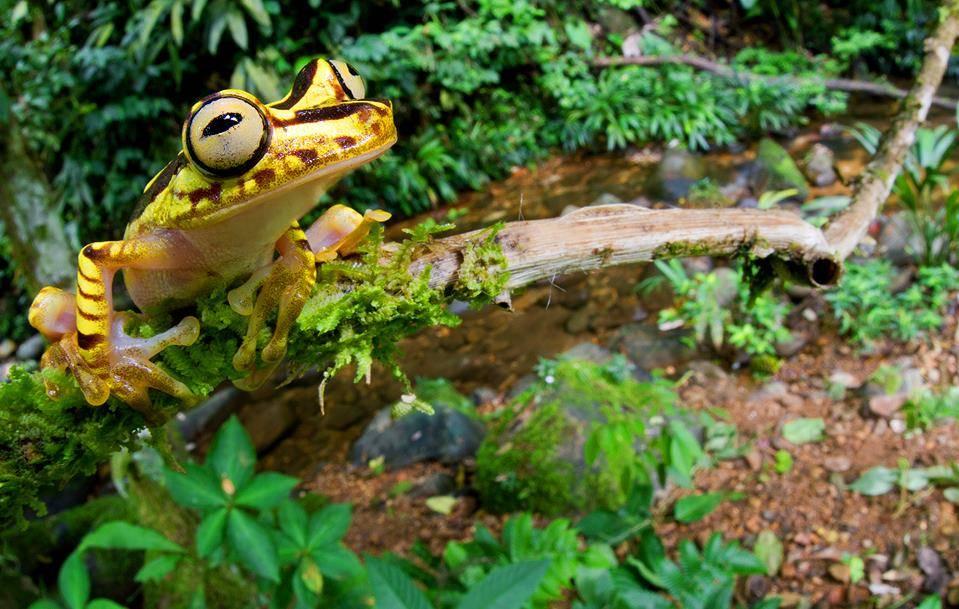 Желтая квакша Hypsiboas picturatus