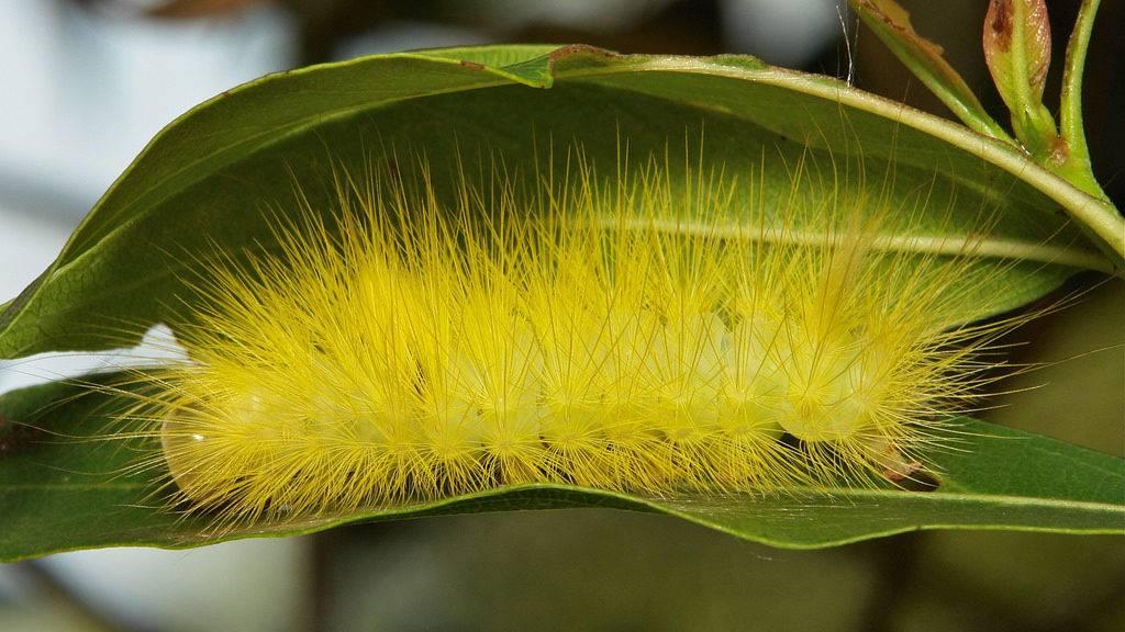 Желтая мохнатая гусеница бабочки из семейства волнянки (лат. Calliteara horsfieldii)