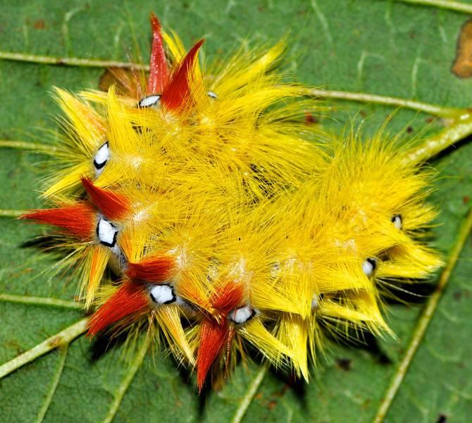 Желтая мохнатая гусеница стрельчатки кленовой (лат. Acronicta aceris)