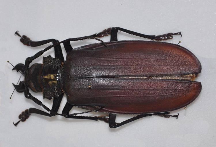 Жук дровосек-титан фото (лат. Titanus giganteus)