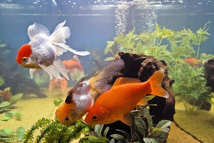 Золотая рыбка фото