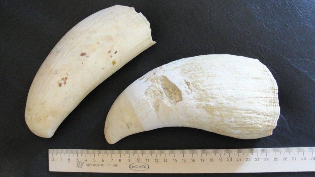 Зубы кита кашалота