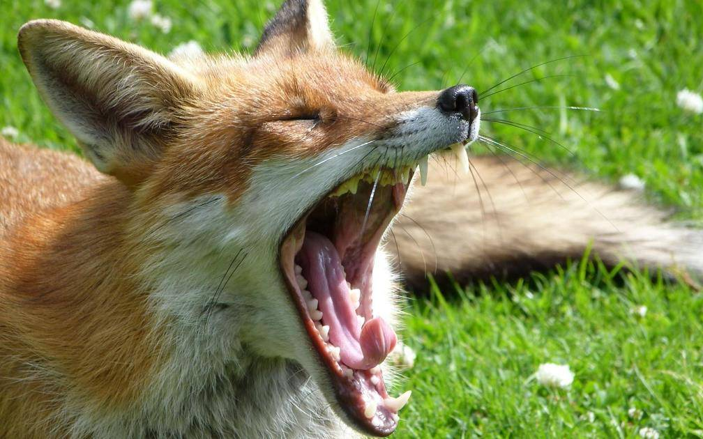 Зубы лисы