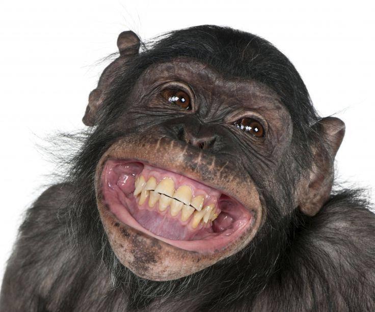 Зубы обезьяны фото