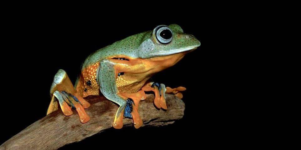 Квакша (древесная лягушка) фото