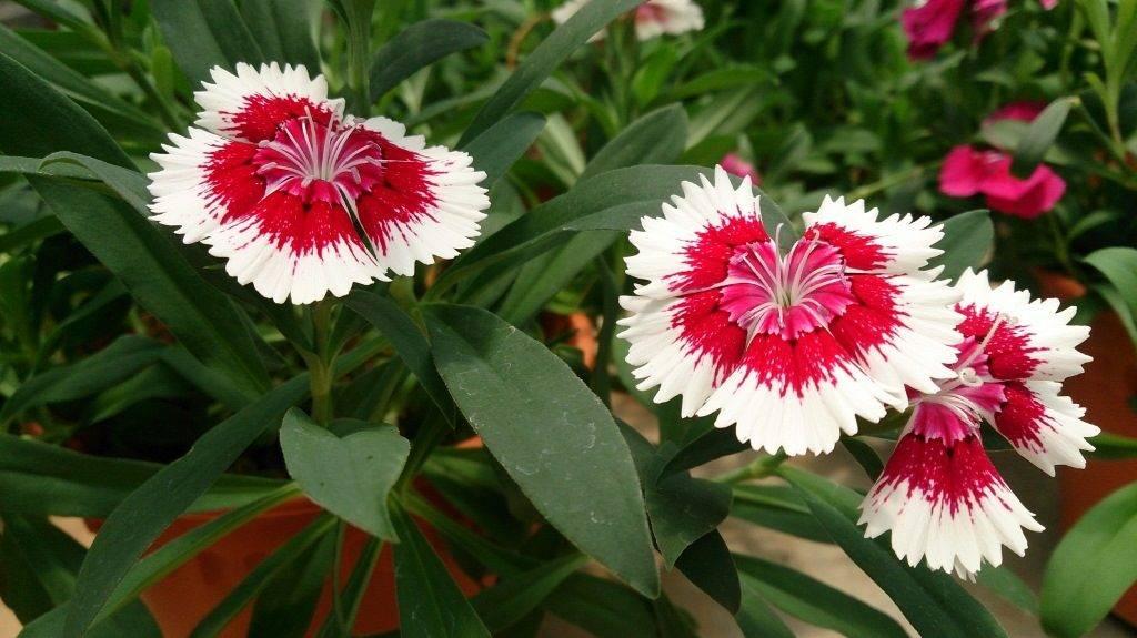 Китайская гвоздика фото (лат. Dianthus chinensis)