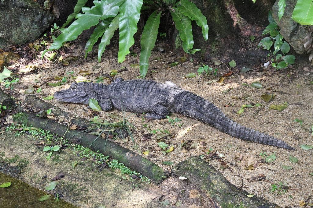 Китайский аллигатор (лат. Alligator sinensis)