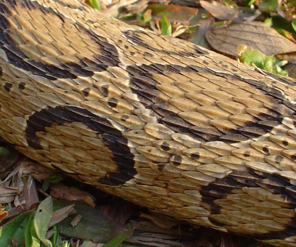 Кожа болотной гадюки фото
