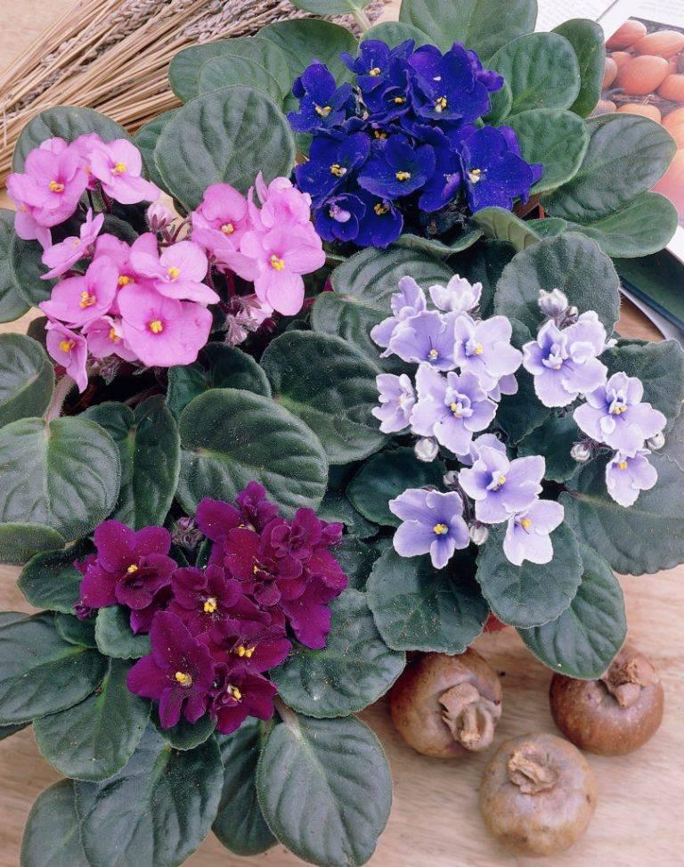 Комнатная фиалка фото цветов