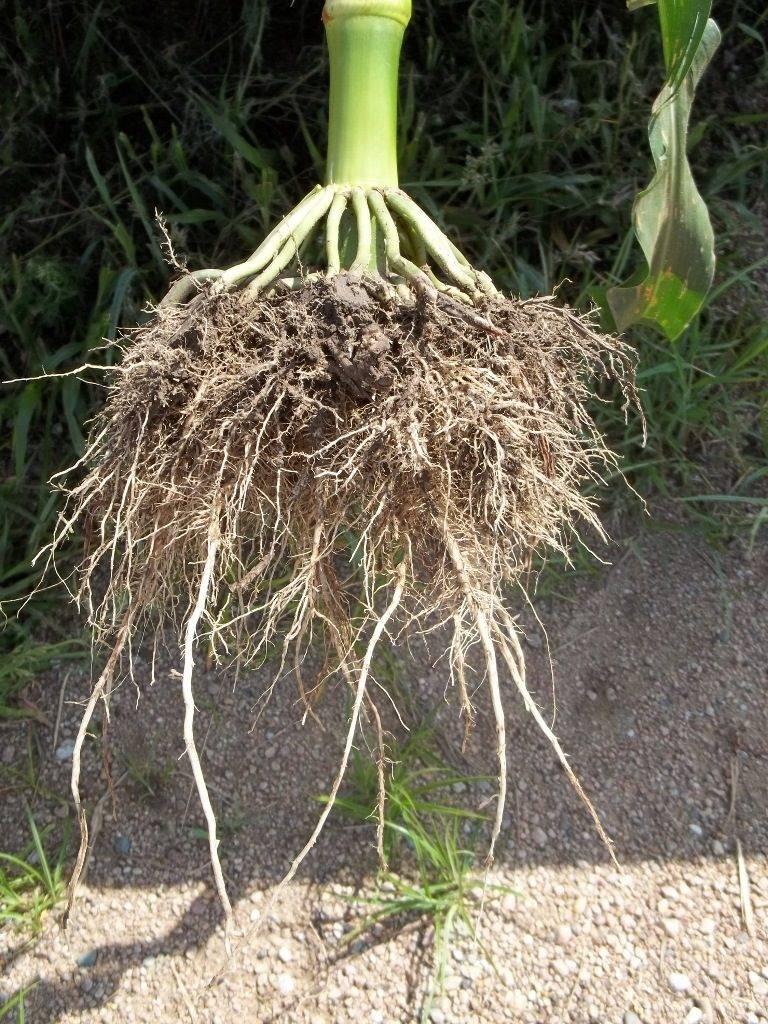 Корень кукурузы
