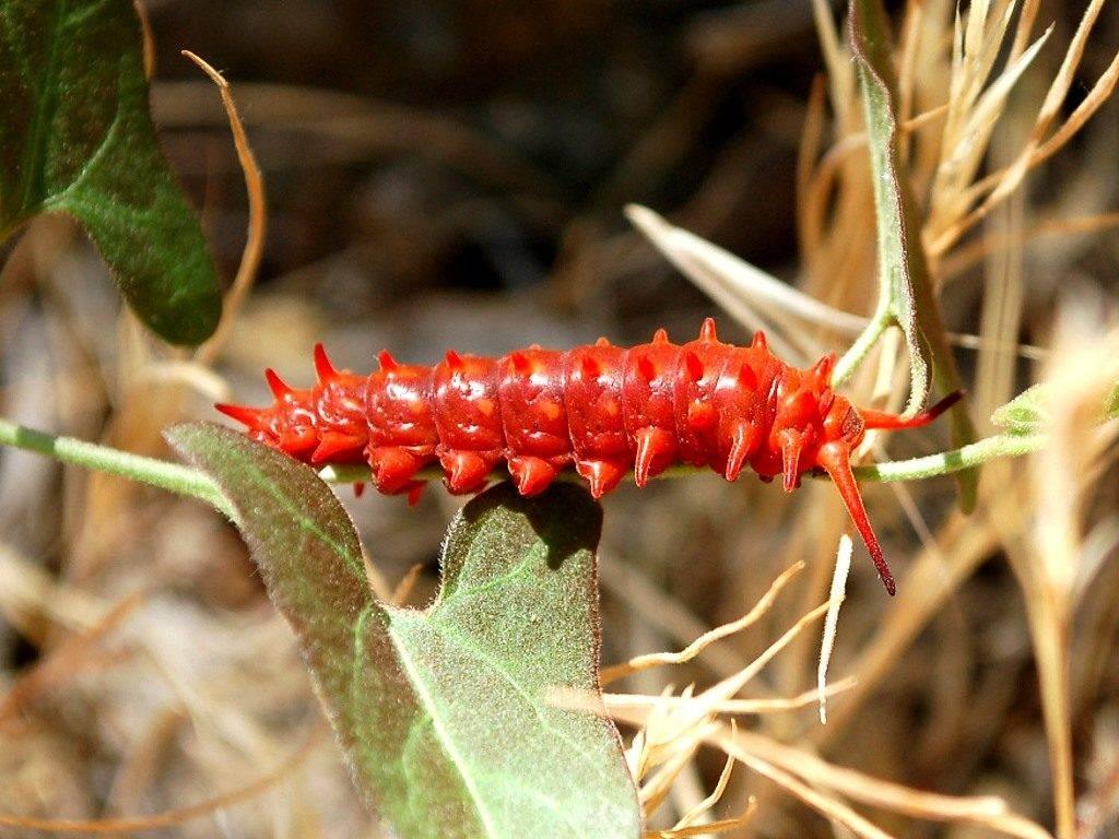 Красная гусеница (лат. Battus philenor)