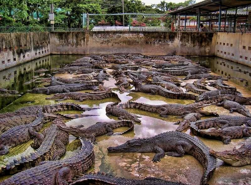 Крокодиловая ферма фото