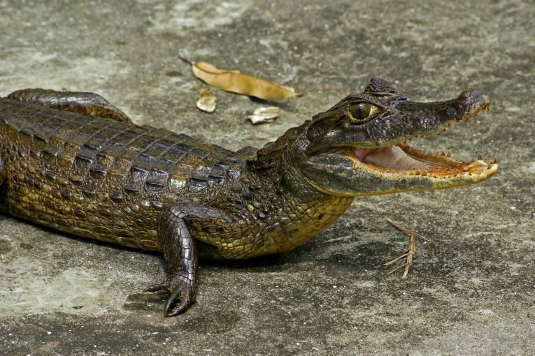 Крокодиловый (очковый) кайман (лат. Caiman crocodilus)