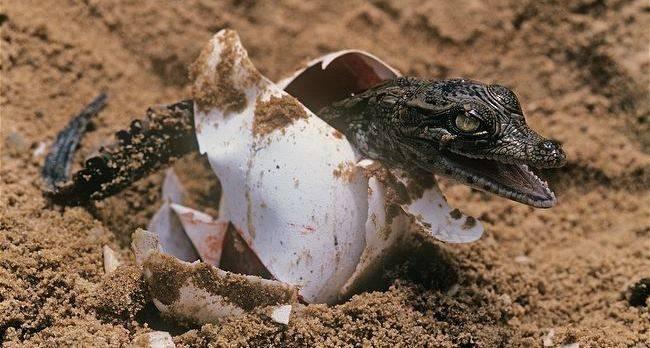 Крокодил вылупился из яйца