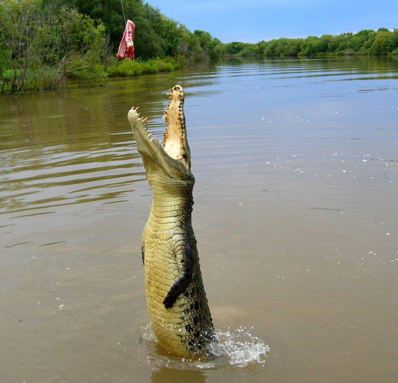 Крокодил прыгает