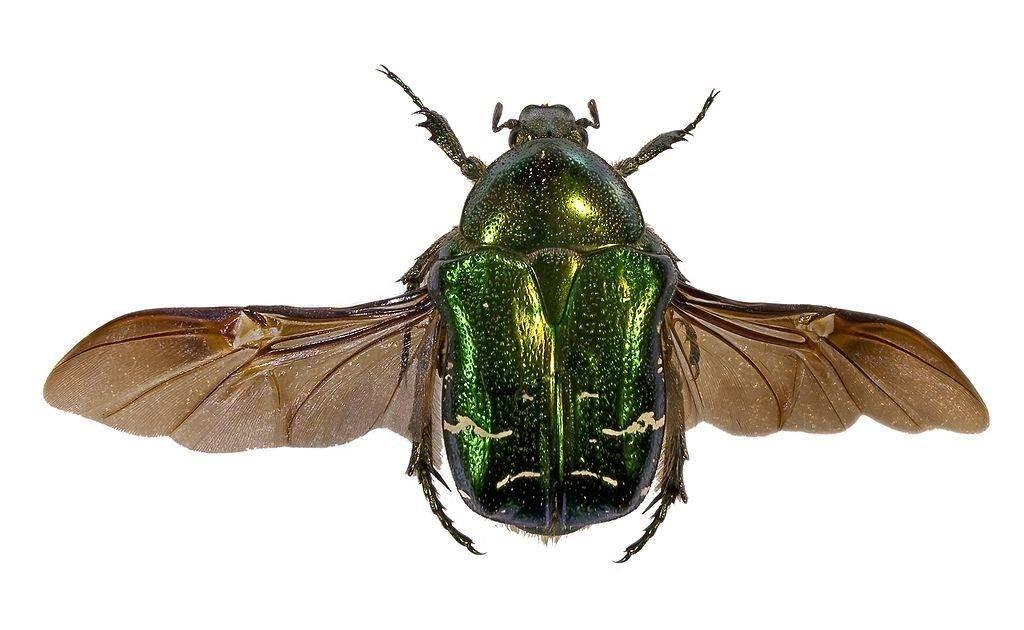 Крылья жука
