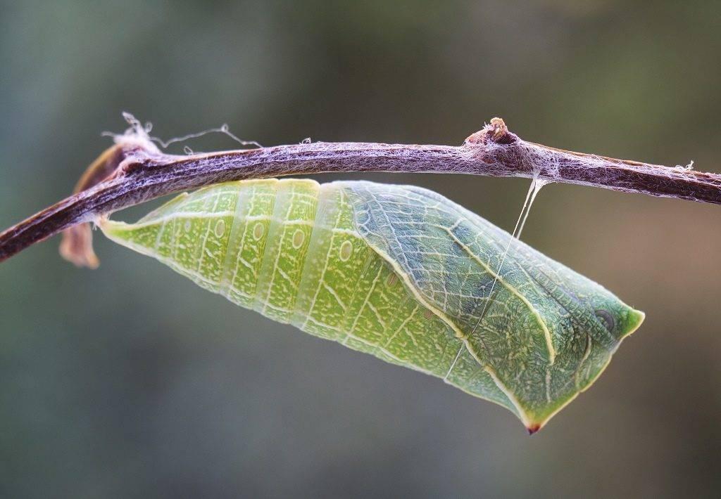 Куколка гусеницы фото