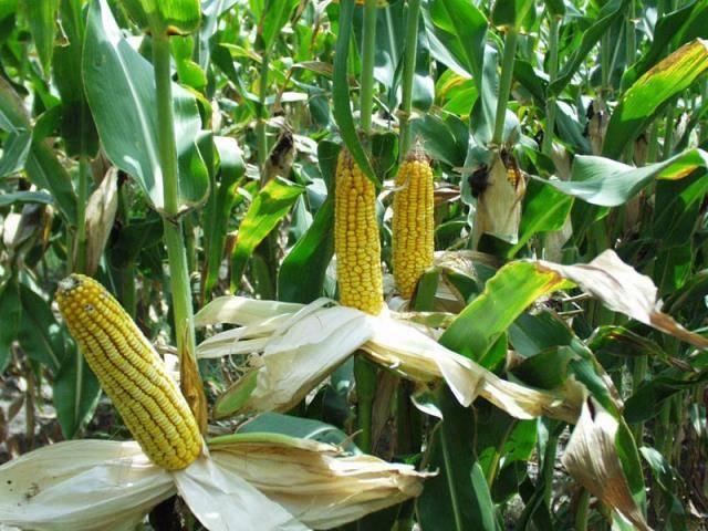 Кукуруза сахарная фото (лат. Zea mays saccharata, Zea mays ssp. mays)