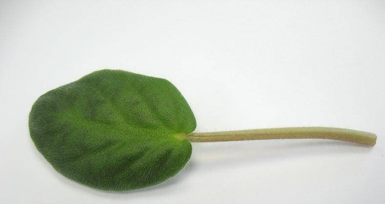Лист сенполии
