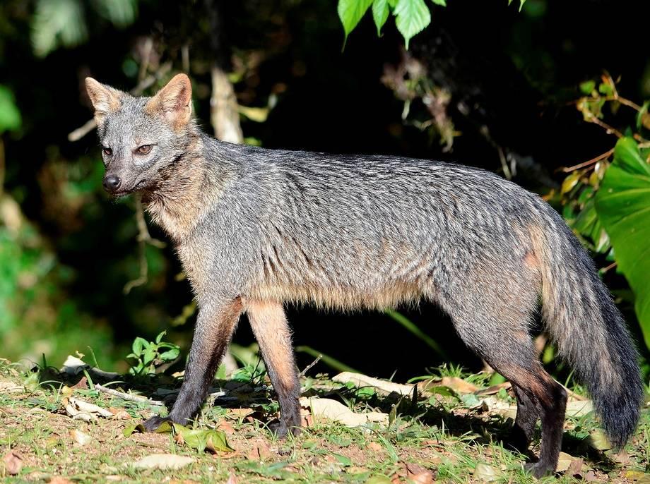 Майконг, саванновая лисица (лат. Cerdocyon thous)