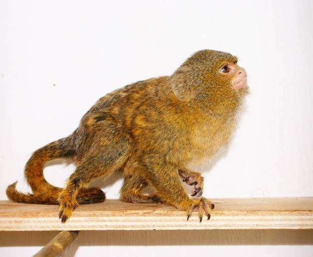 Маленькая обезьяна фото (карликовая игрунка)
