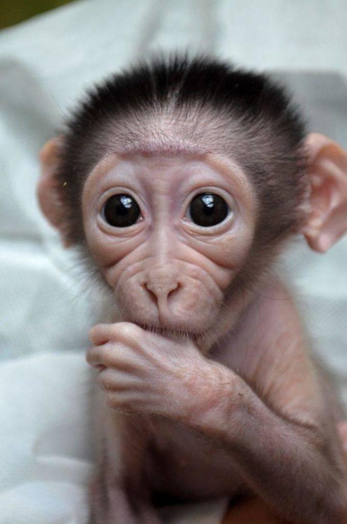 Маленькая обезьянка сосет пальчик