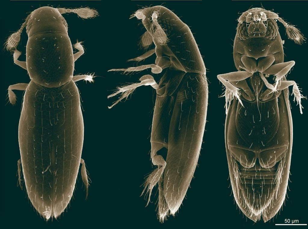 Маленький жук Scydosella musawasensis под микроскопом