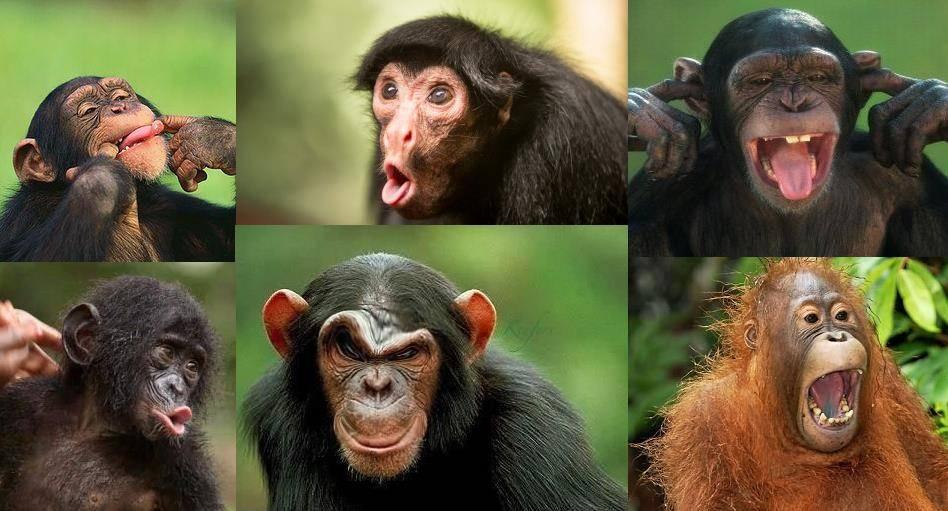 Мимика обезьян