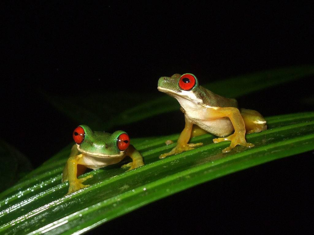 Необычные квакши с красными глазами Duellmanohyla rufioculis
