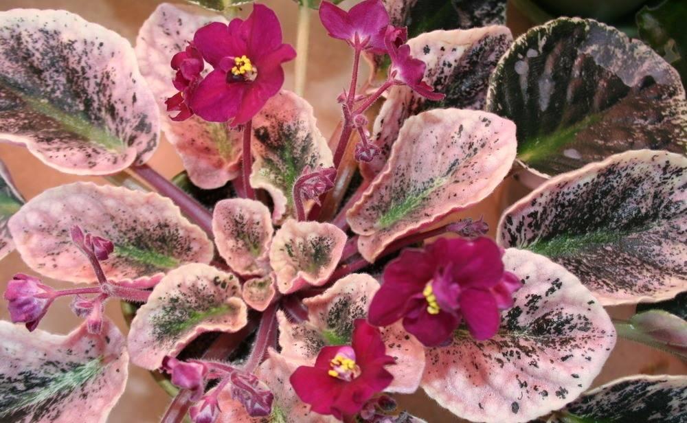 Необычные листья комнатной фиалки Apache Heartbeat