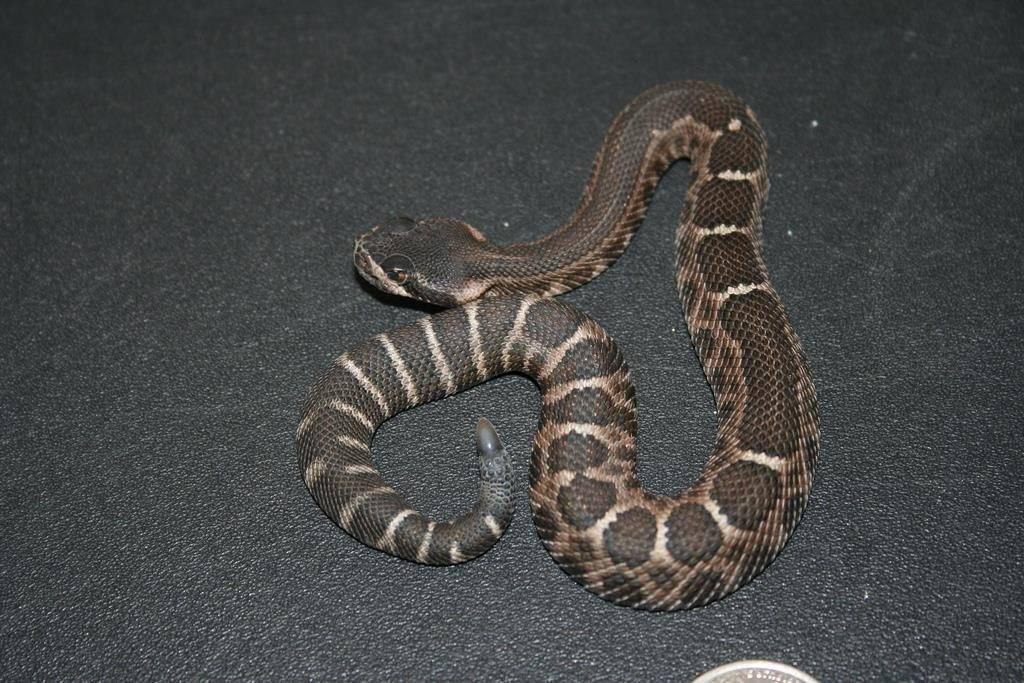 Новорожденная гадюка фото (вид Crotalus cerastes)
